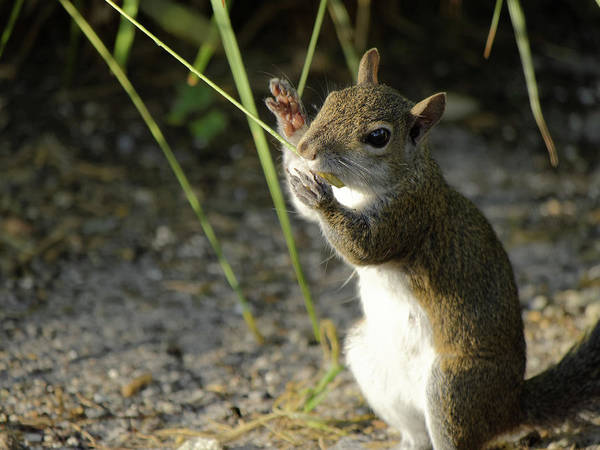 Gray Squirrel Poster featuring the photograph Stop No Interruptions Please by Jill Nightingale