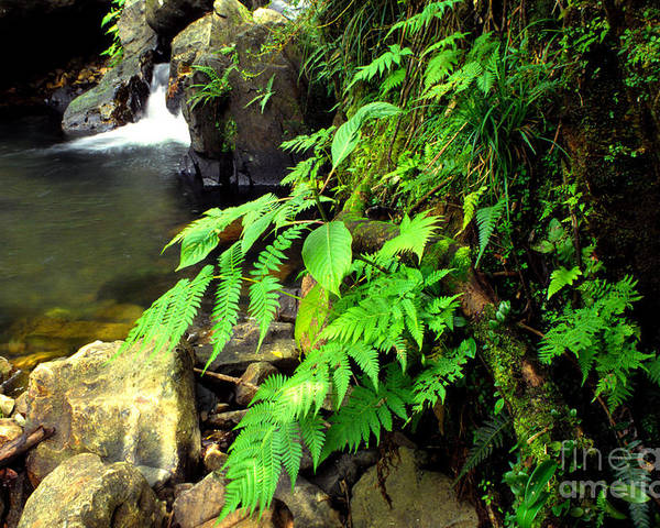 Puerto Rico Poster featuring the photograph Stream El Yunque National Forest by Thomas R Fletcher