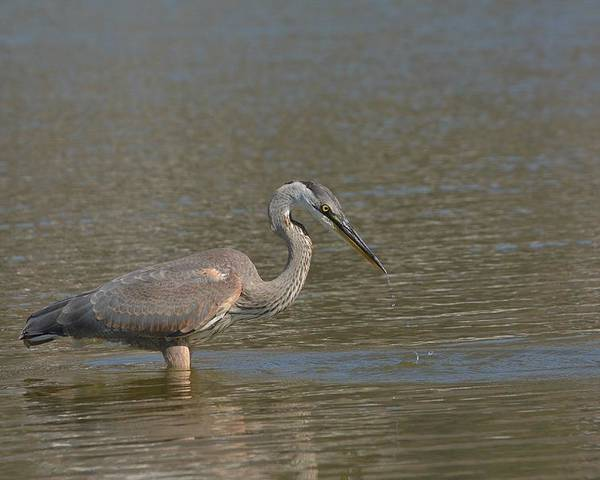 Great Blue Heron Poster featuring the photograph Striking Distance 2 by Fraida Gutovich