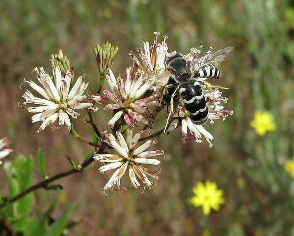 Nature Poster featuring the photograph Striped Bee by Peg urban