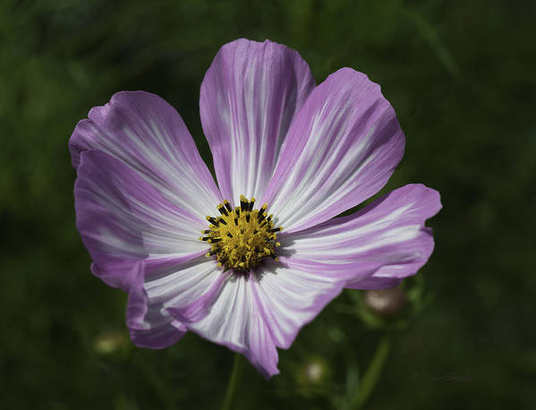 Beautiful Photos Poster featuring the photograph Striped Cosmos 1 by Roger Snyder