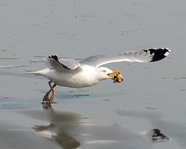 Gull Poster featuring the photograph Stripped Billed Gull With Shell by Alan Lenk