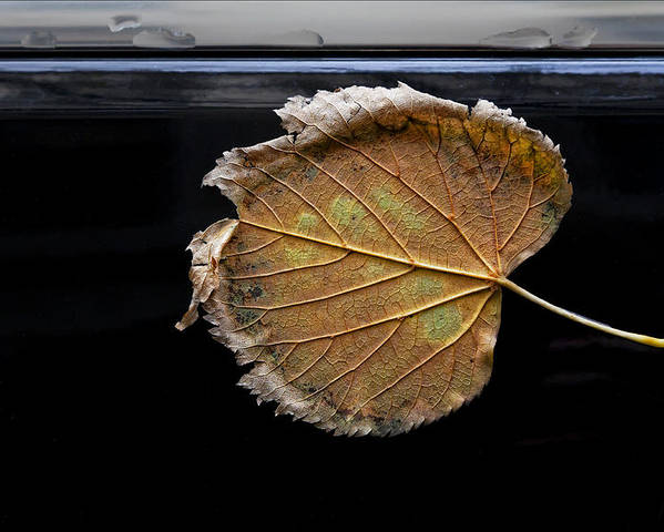 Leaf Poster featuring the photograph Stuck On You by Robert Ullmann