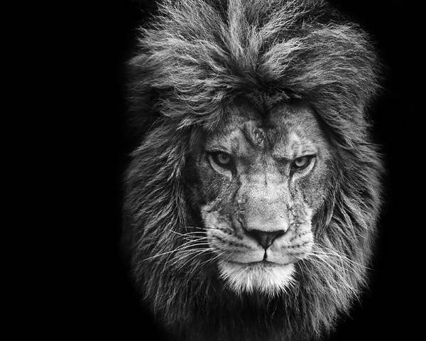 Lion poster featuring the photograph stunning black and white portrait of barbary lion on black background