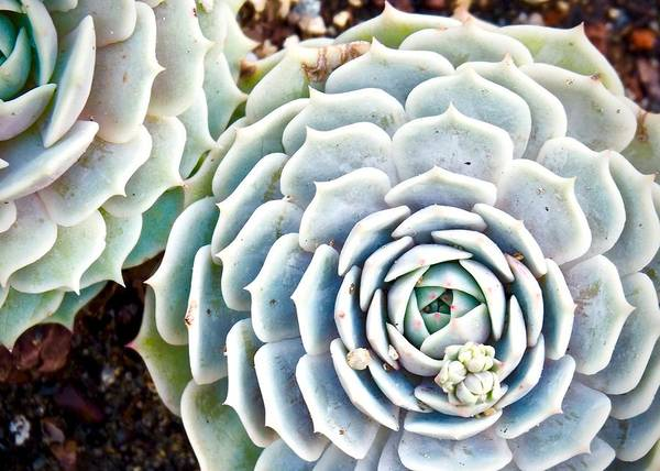 Travel Photography Poster featuring the photograph Succulent by Aaris K