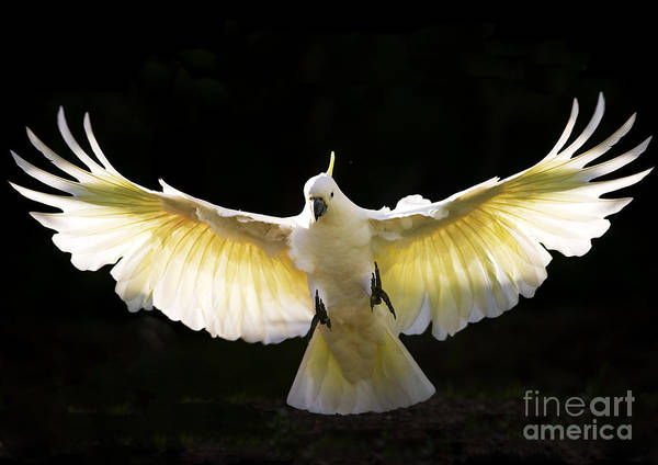 Sulphur Crested Cockatoo Australian Wildlife Poster featuring the photograph Sulphur Crested Cockatoo In Flight by Sheila Smart Fine Art Photography