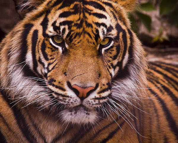 Tiger Poster featuring the photograph Sumatran Tiger by Chad Davis