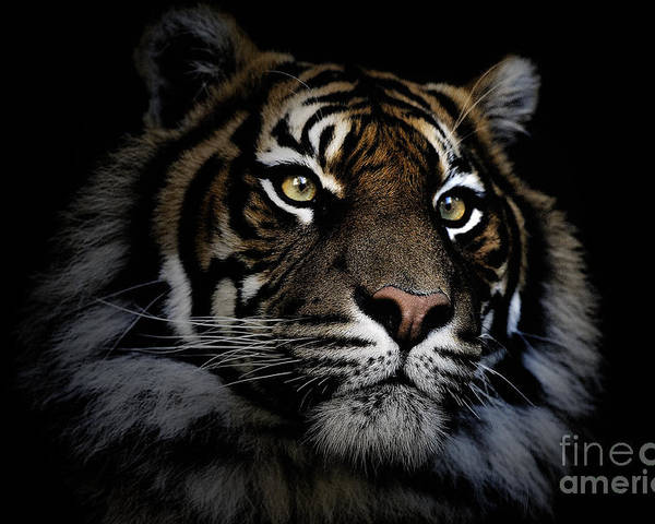 Sumatran Tiger Wildlife Endangered Poster featuring the photograph Sumatran Tiger by Sheila Smart Fine Art Photography