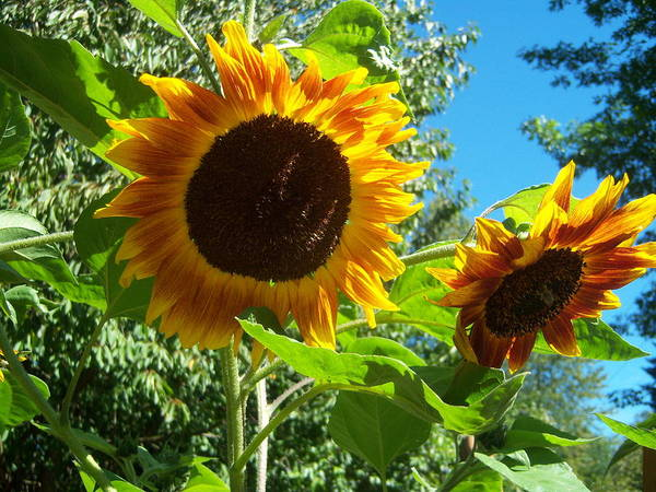 Sun Poster featuring the photograph Sunflower 102 by Ken Day