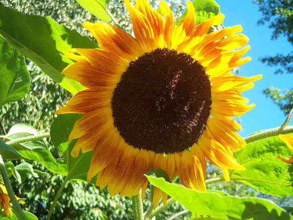 Sun Poster featuring the photograph Sunflower 103 by Ken Day