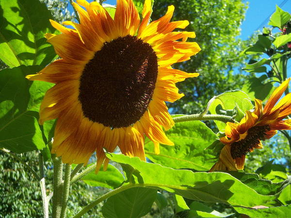 Sun Poster featuring the photograph Sunflower 122 by Ken Day