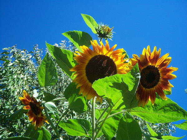 Sun Poster featuring the photograph Sunflower 131 by Ken Day