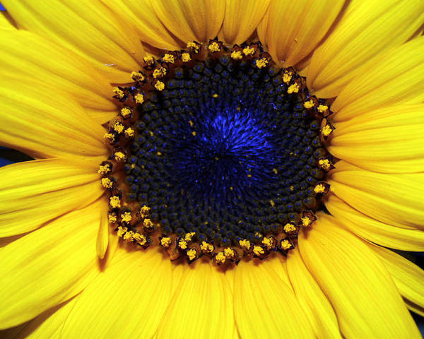 Sunflower Photography Poster featuring the photograph Sunflower 2 by Evelyn Patrick
