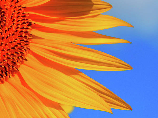 Sunflower Poster featuring the photograph Sunflower Elegance by Jane Izzy Designs