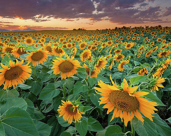 Horizontal Poster featuring the photograph Sunflower Field In Longmont, Colorado by Lightvision
