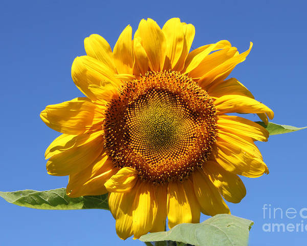 Floral Poster featuring the photograph Sunflower In Sunshine by Cathy Beharriell