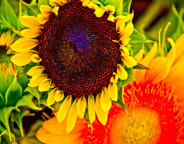 Sunflower Poster featuring the photograph Sunflower Joy by Jennifer Lycke