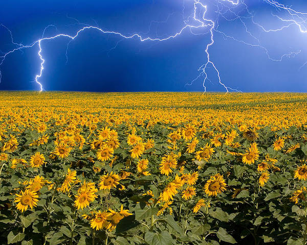 Sunflowers Poster featuring the photograph Sunflower Lightning Field by James BO Insogna