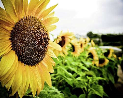 Sunflower Poster featuring the photograph Sunflower Sunshine by Lacey Miller