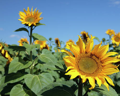Sunflower Poster featuring the photograph Sunflowers by Neil Overy