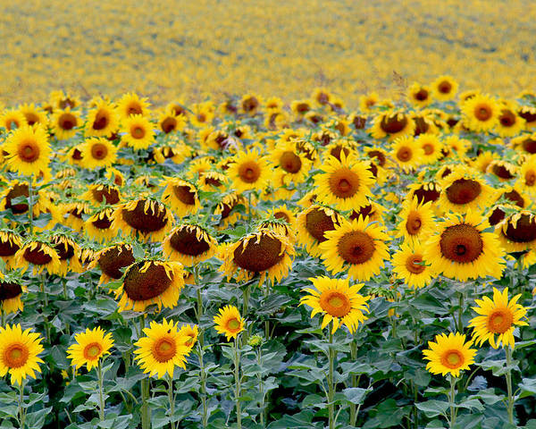 Field Poster featuring the photograph Sunflowers On A Cloudy Day by Lisa Evans