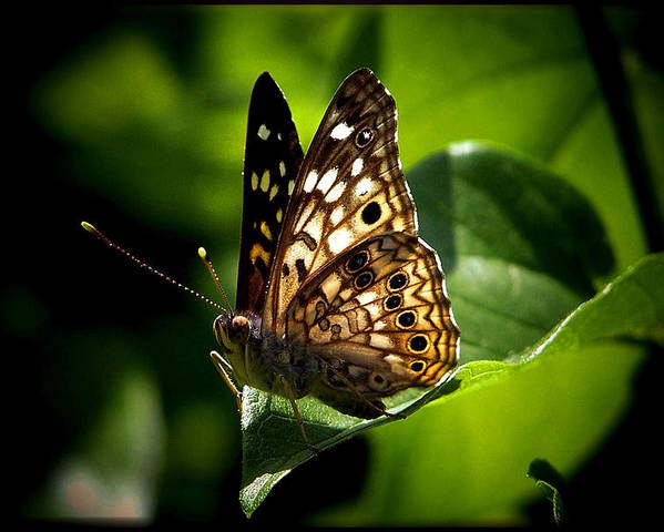 Butterfly Poster featuring the photograph Sunlit Butterfly by Karen Scovill