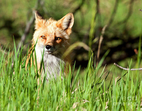 Red Fox Portrait Poster featuring the photograph Sunlit Face by Jim Garrison