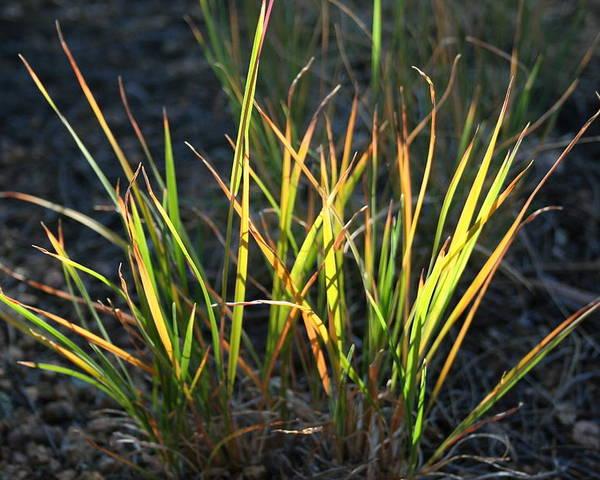 Grass Poster featuring the photograph Sunlit Grass by Ric Bascobert
