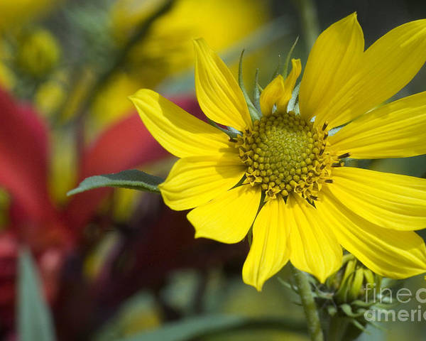 Yellow Poster featuring the photograph Sunny Blooms by Jeannie Burleson