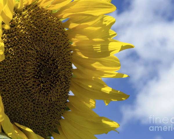 (calm Or Still) Poster featuring the photograph Sunny Faces And Blue Skies by Debra Fedchin