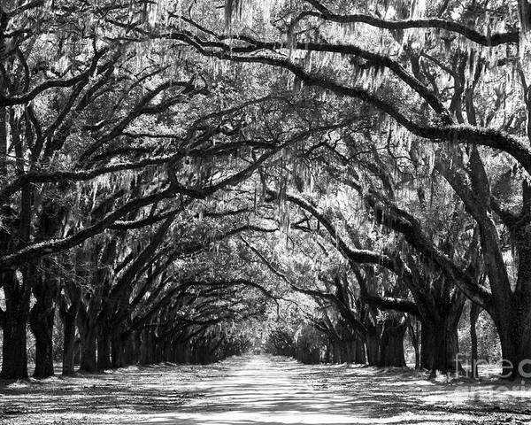 Live Oaks Poster featuring the photograph Sunny Southern Day - Black And White by Carol Groenen