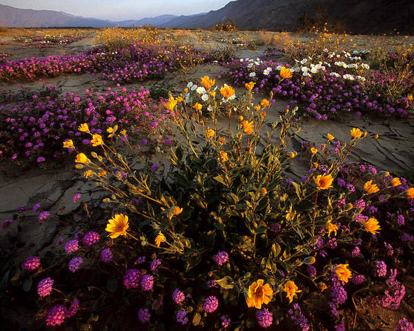 California Poster featuring the photograph Sunrise On Desert Wildflowers by Tim Laman