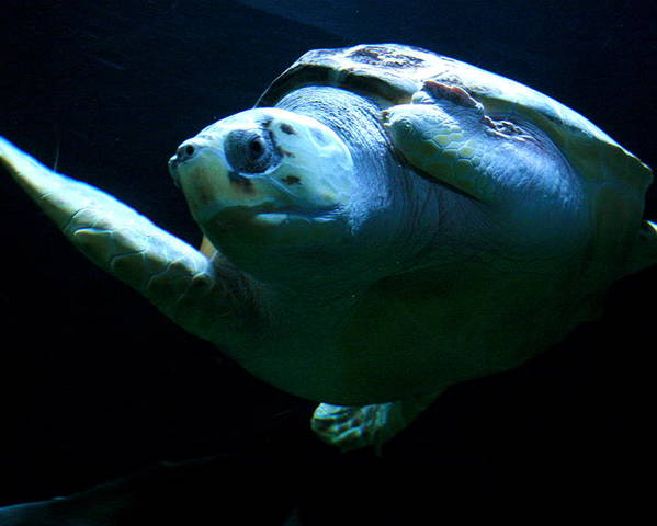 Turtle Poster featuring the photograph Super Turtle by Aimee Galicia Torres