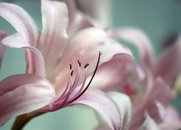 Flower Poster featuring the photograph Surprise Lily Pink by Jim Darnall