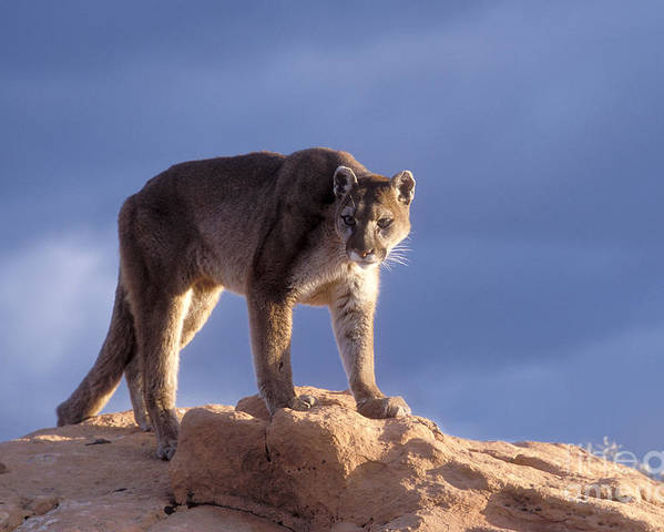 Cougar Poster featuring the photograph Surveying The Territory by Sandra Bronstein