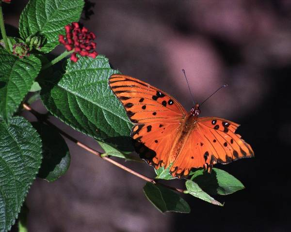Butterfly Poster featuring the photograph Survivor by Bob Guthridge