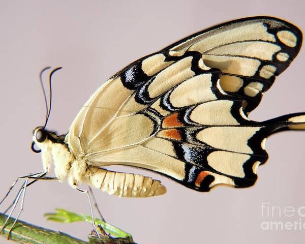 Nature Poster featuring the photograph Swallowtail Butterfly by Julia Hiebaum