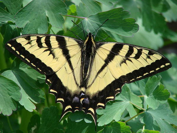 Swallowtail Poster featuring the photograph Swallowtail Butterfly by Liz Vernand