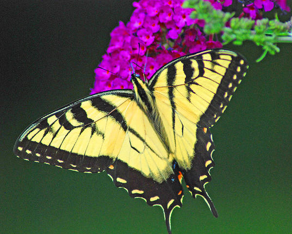Swallowtail Poster featuring the photograph Swallowtail by Carol A Commins