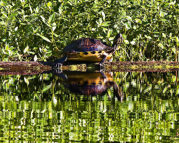 Landscape Poster featuring the photograph Swamp Turtle Sunning On A Log by Michael Whitaker