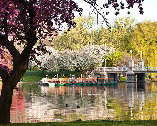 Apple Blossoms Poster featuring the photograph Swan Boats With Apple Blossoms by Susan Cole Kelly