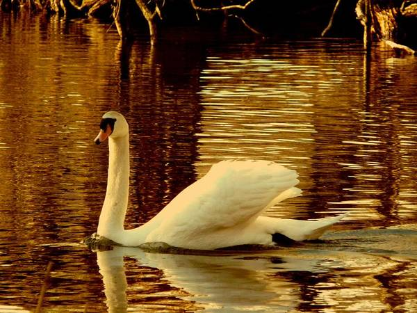 Swan Poster featuring the photograph Swan Dance by Kendall Eutemey