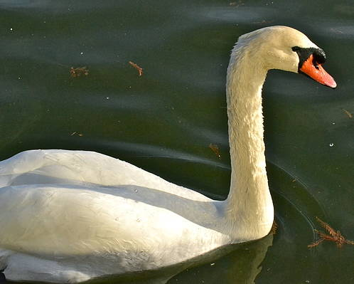 Swan Poster featuring the photograph Swan Up Close by Carol Bradley