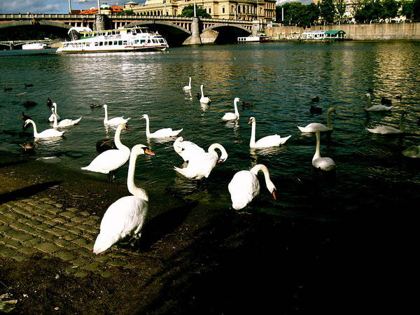 Prague Poster featuring the photograph Swans by Ariane Moshayedi