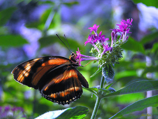 Butterfly Poster featuring the photograph Sweet Nector by Louise Magno