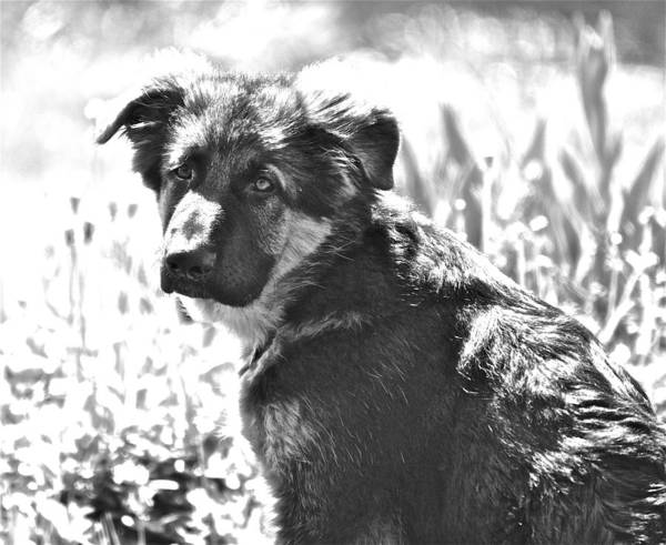 German Shepherd Dog Poster featuring the photograph Sweet Puppy by Danielle Sigmon