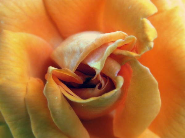Rose Poster featuring the photograph Sweet Seduction by Karen Wiles