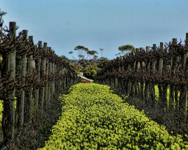 Vines Poster featuring the photograph Sweet Vines by Douglas Barnard
