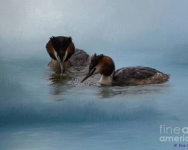 Great Crested Grebes Poster featuring the photograph Swimmers by Eva Lechner