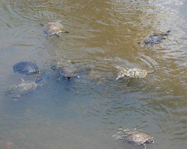 Water Poster featuring the photograph Swimming Turtles by Rob Hans